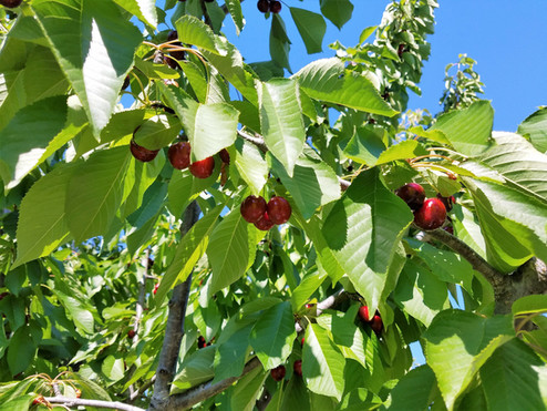 Cherry Harvesting at Home