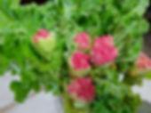 Victoria Rhubarb Sauce Recipe