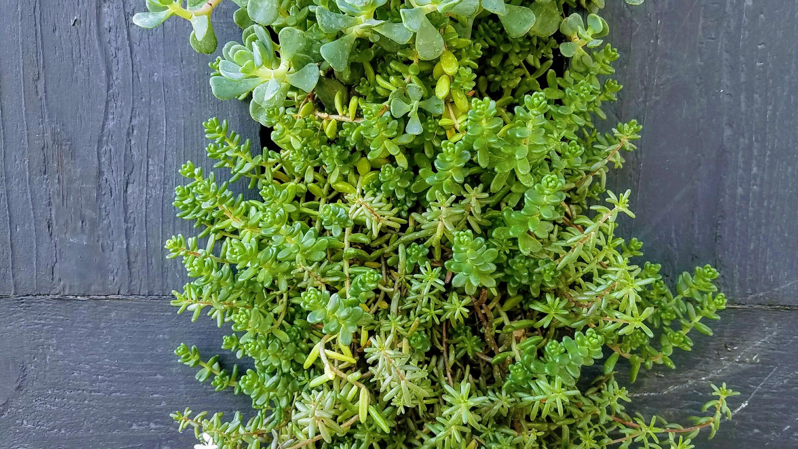 Succulents in Bloom