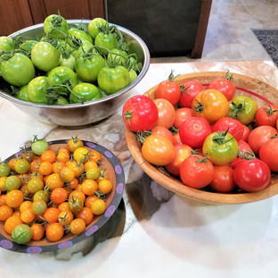 Look at all the tomatoes I still have!