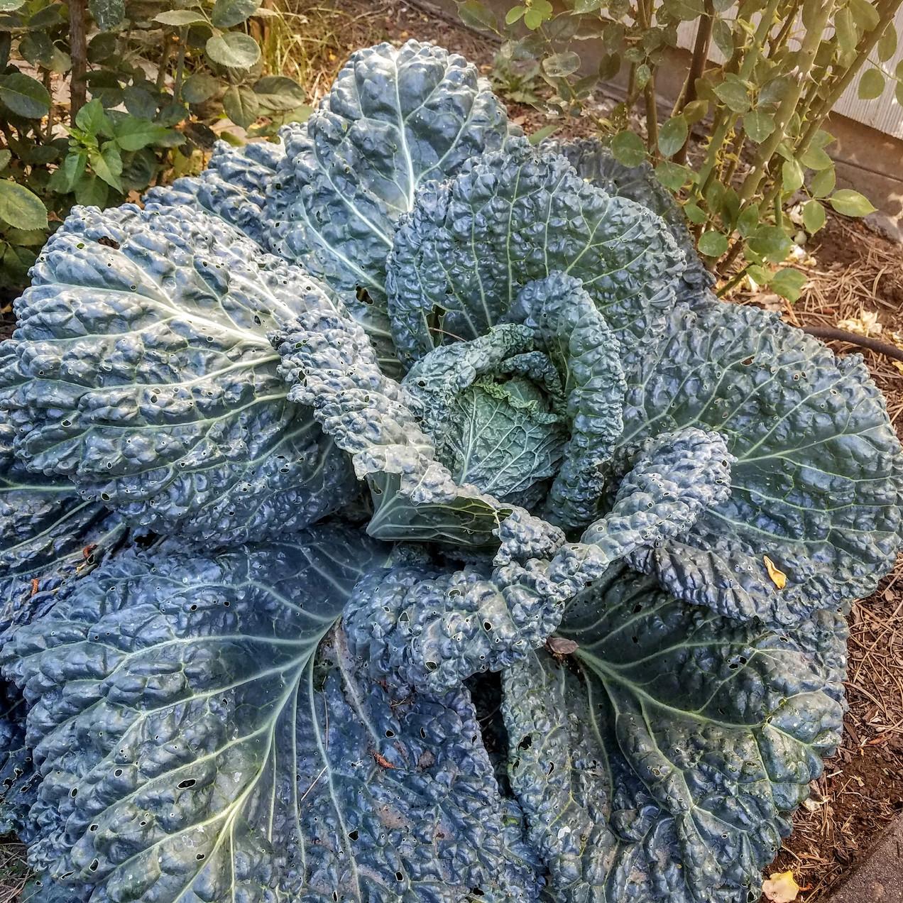 Volunteer cabbage
