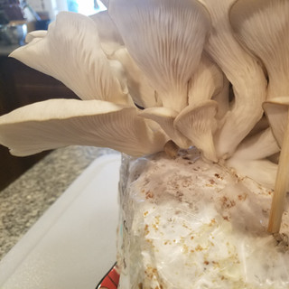 Another look at the underside of the mushroom flush.