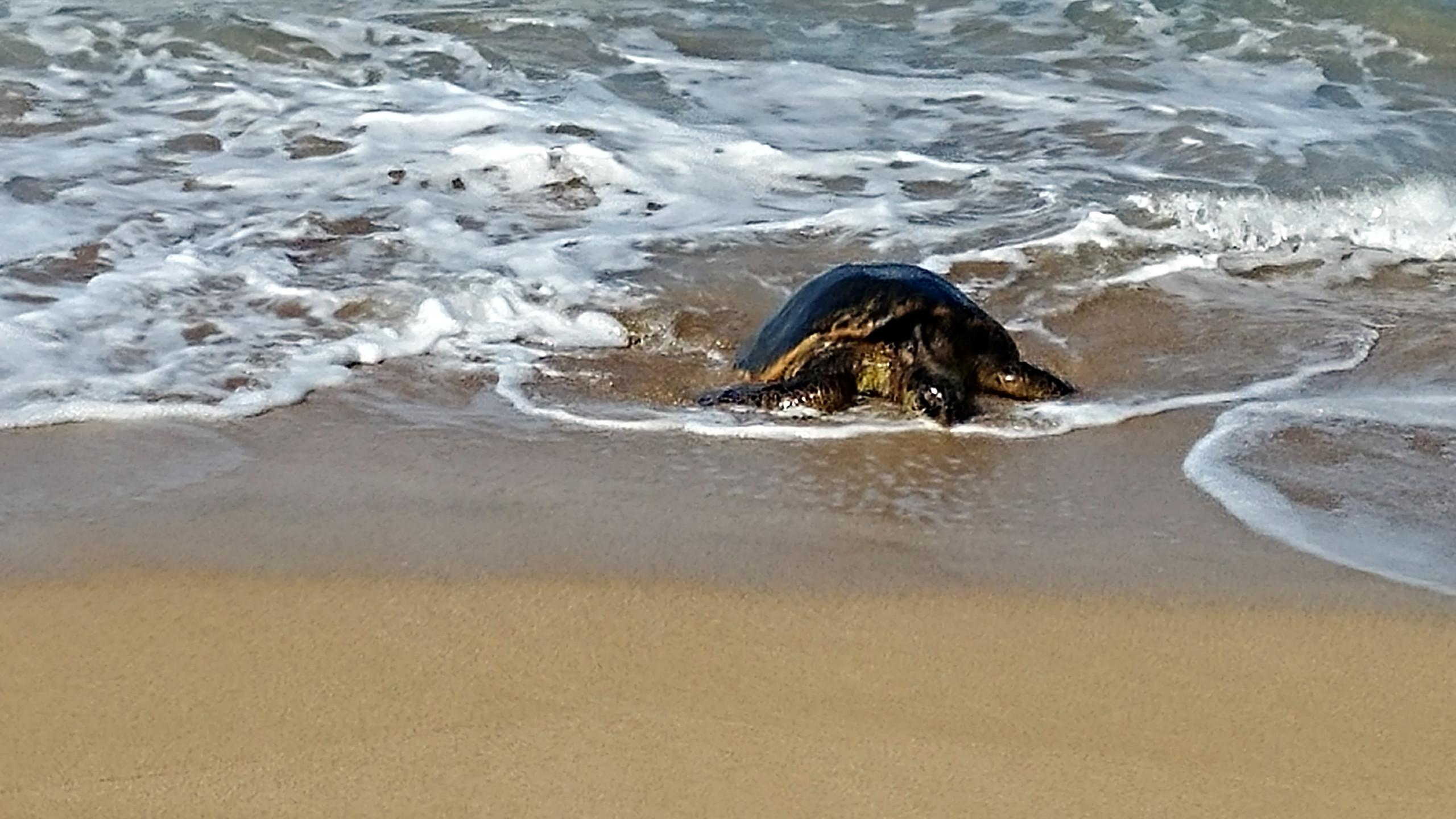 Sea Turtle Hale Mahina, West Maui HI