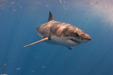 A great white shark turns through the wa