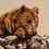 Thumbnail: Brown Bear Art Print