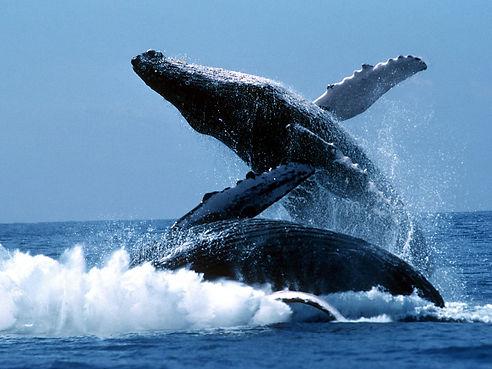 las-ballenas-jorobadas-regresan-nuevamen