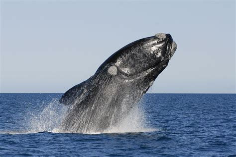 Southern Right Whales.jpg