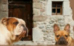 elevage chiens lof, les gamins de rubis, races bouledogue francais et bulldogs anglais, chiots bouledogues francais et bulldogs anglais, auvergne allier 03