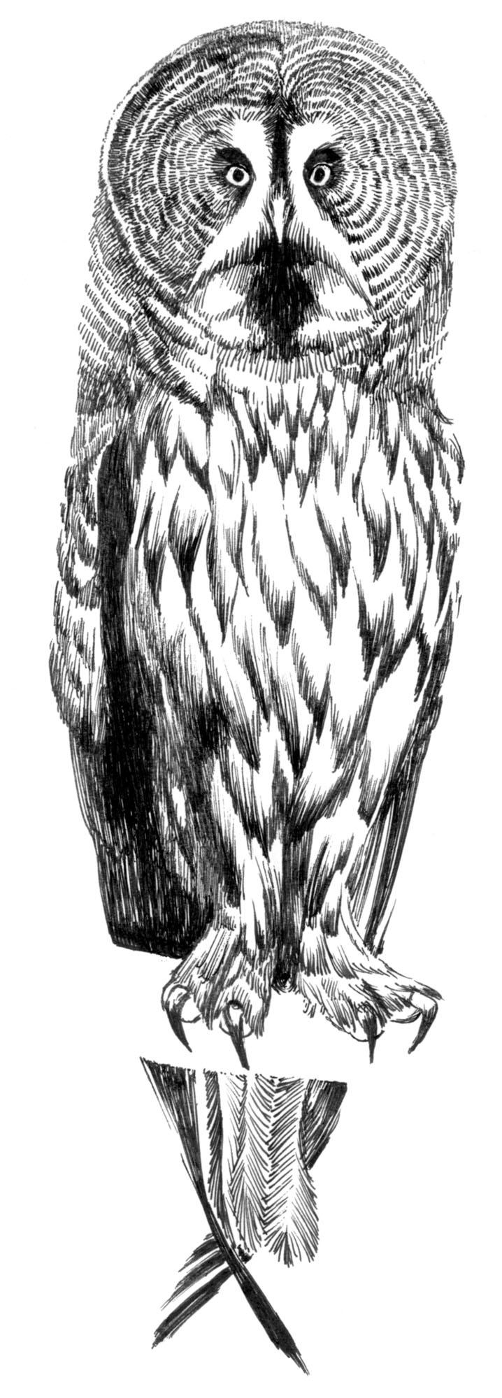 カラフトフクロウ