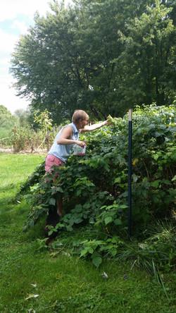 Picking raspberries on the farm