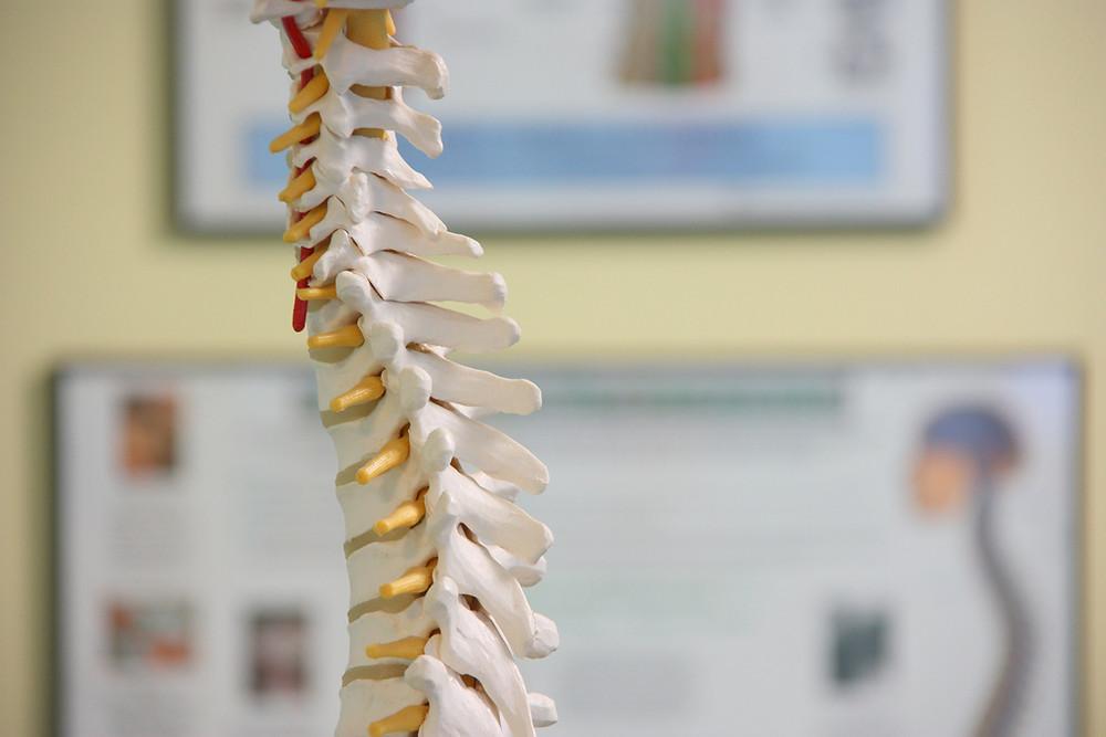 model spine