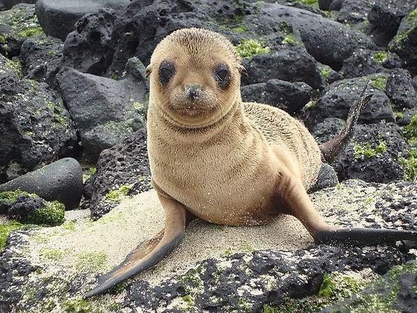 Galapagos seal pup baby rocks