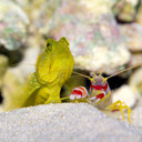 Yellow Watchman and Pistol