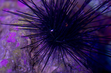 Orange Eye Urchin