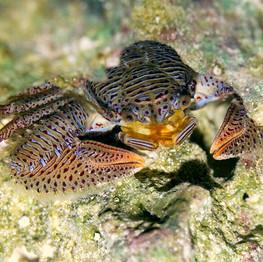 Porcelien Crab