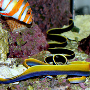 Ribbon Eels