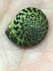 Sun Dial Snail