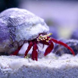 Red Leg Hermit
