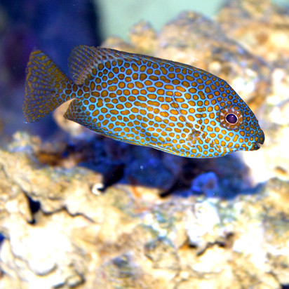 Blue Spot Rabbitfish