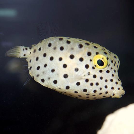 Yellow Cubicus Boxfish