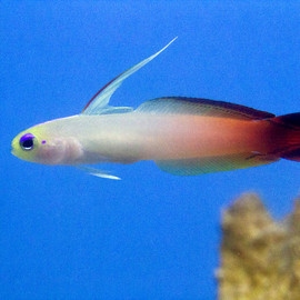 Red Firefish