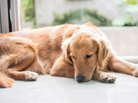 Pets sofrem com o luto?