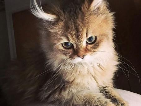 5 dicas de como deixar o pelo do seu gato mais bonito