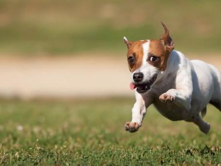 Descubra por que os cães têm o hábito de fugir de casa
