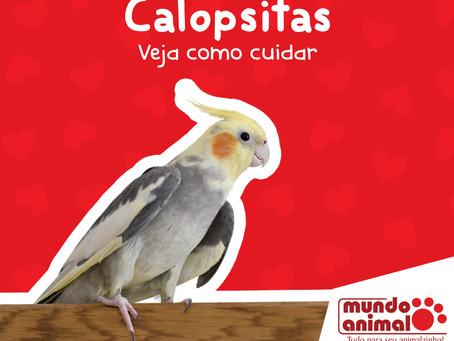Calopsitas – veja dicas de como cuidar