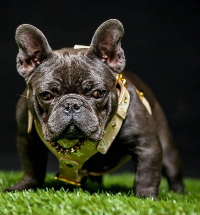 Bully dog with leather collar