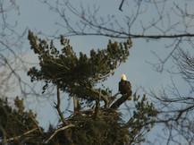 Norway Eagle.jpg