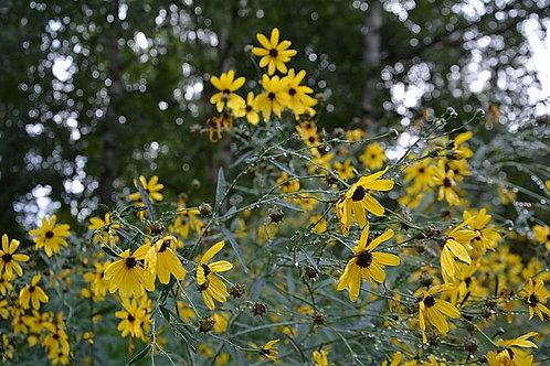 "Coreopsis tripteris - ""Tall Coreopsis"""