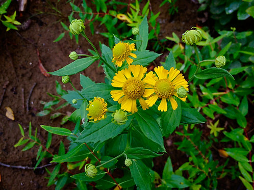 "Helenium autumnale - ""Sneezeweed"""