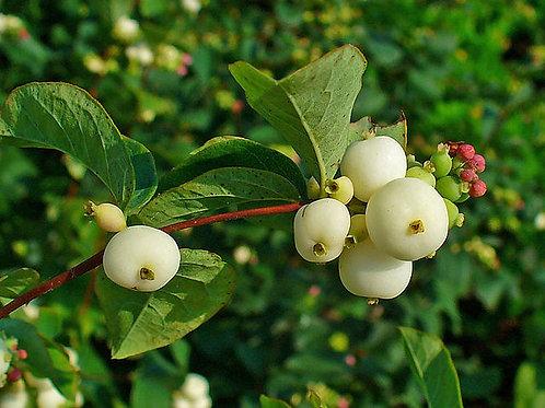 """Symphoricarpus albus - """"Snowberry"""""""