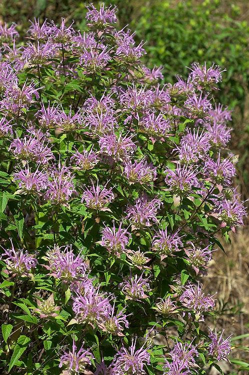 """Monarda fistulosa - """"Wild Bergamot"""""""