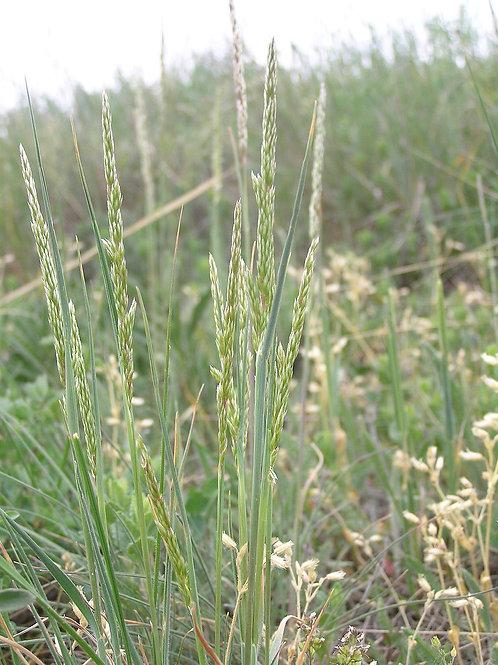 """Koeleria macrantha - """"June Grass"""""""