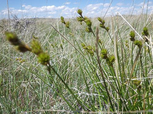 """Carex brevior - """"Plain's Oval Sedge"""""""