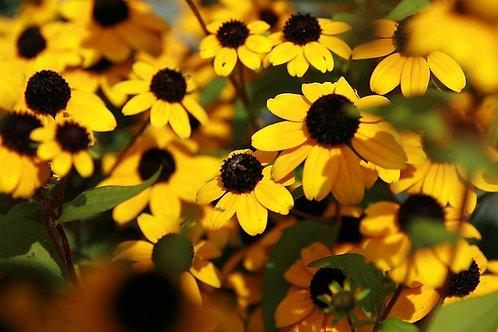 "Rudbeckia triloba - ""Brown-eyed Susan"""