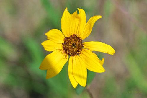 """Helianthus pauciflorus - """"Showy Sunflower"""""""