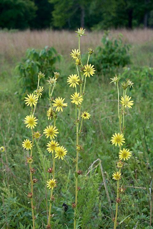 """Silphium laciniatum - """"Compass plant"""""""