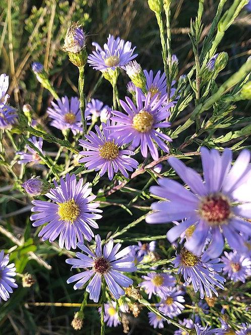 """Symphyotrichum oolentangiense - """"Sky Blue Aster"""""""