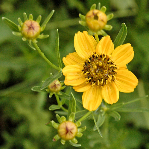 """Coreopsis palmata- """"Prairie Coreopsis"""""""
