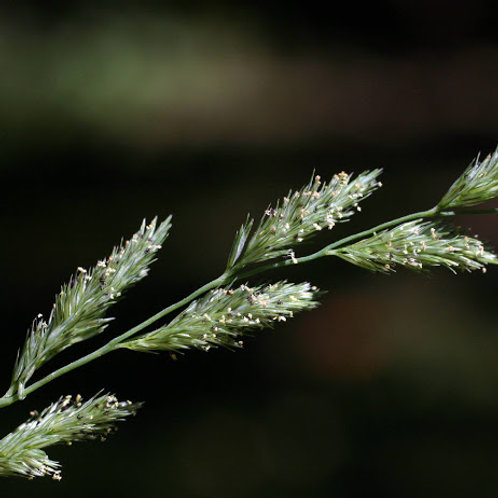 Muhlenbergia mexicana- Mexican Muhly Grass
