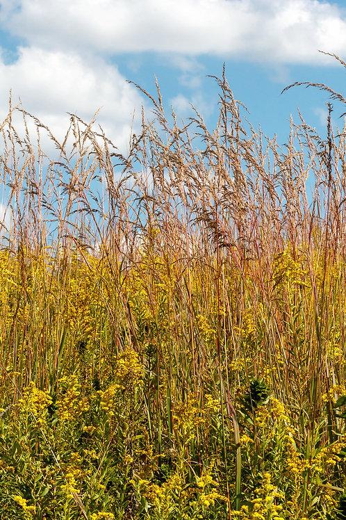 "Sorghastrum nutans - ""Indian Grass"""
