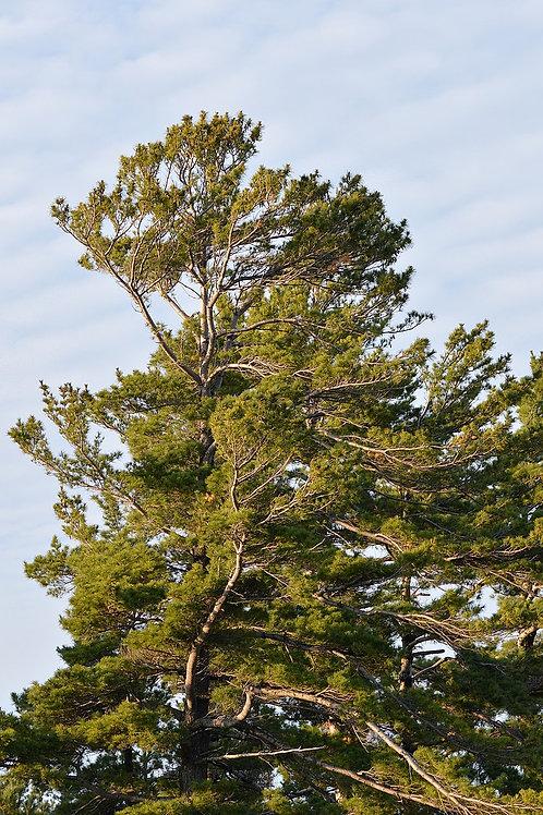 """Pinus strobus - """"Eastern White Pine"""" - Treepot"""