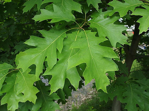 "Quercus rubra - ""Red Oak"""