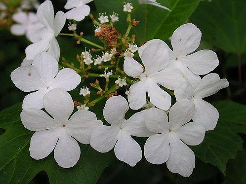 """Viburnum trilobum - """"Highbush Cranberry"""""""