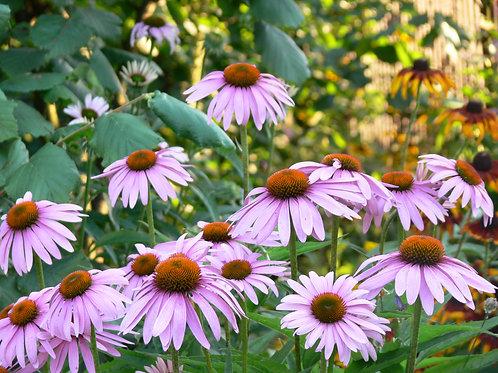 "Echinacea purpurea- ""Purple Coneflower"""