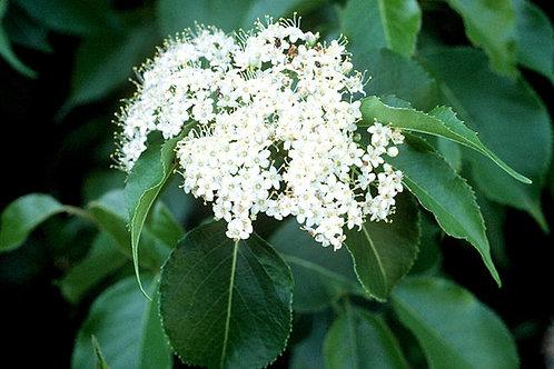 """Viburnum lentago - """"Nannyberry"""""""