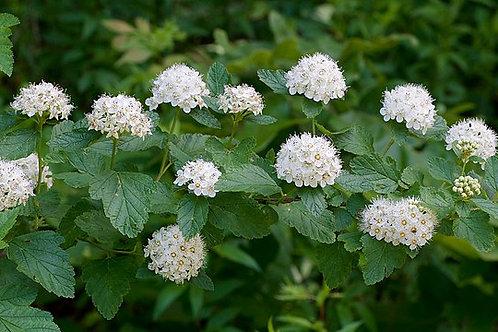 """Physocarpus opulifolius - """"Prairie Ninebark"""""""